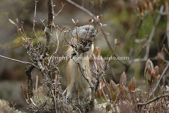 ナキウサギ (鹿追町) 10/10/09 珍しい木に登る瞬間のナキウサギ