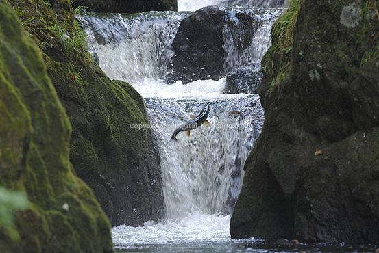 サケ滝登り (宗谷) 9/05/09 ※熊生息地のため 単独撮影は注意