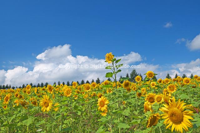上富良野町 – 北海道の風景写真3000点以上、デジタル北海道